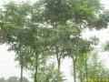 栾树 (1)