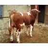 陕西西门塔尔牛多少钱一头陕西白山羊多少钱一只